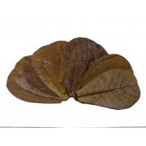 Catappa Blätter - Seemandelbaum - SMALL 12-16cm - 3