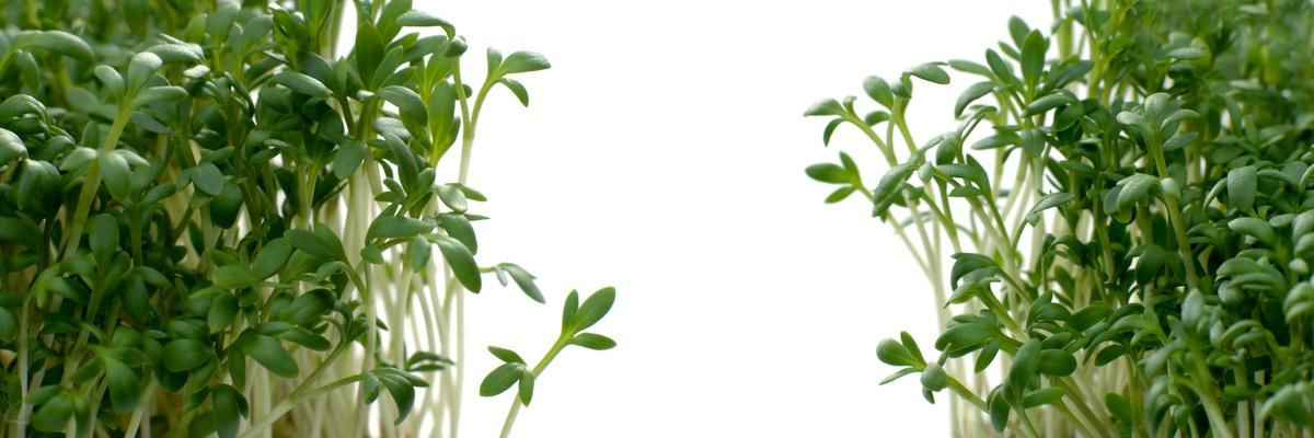 Anzuchtvliese - Microgreen