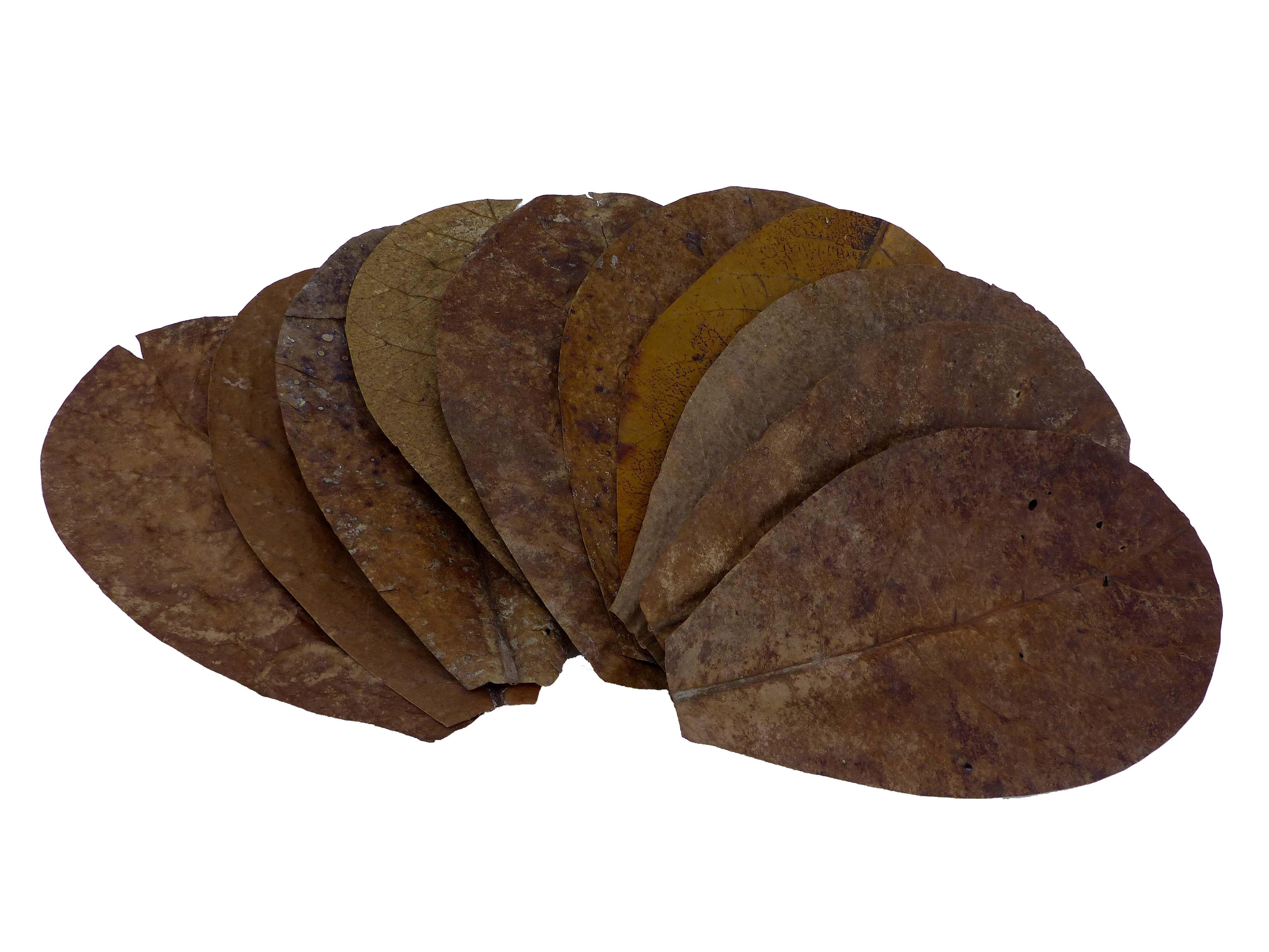 Catappa Blätter - Seemandelbaum - M 16-20cm - 1