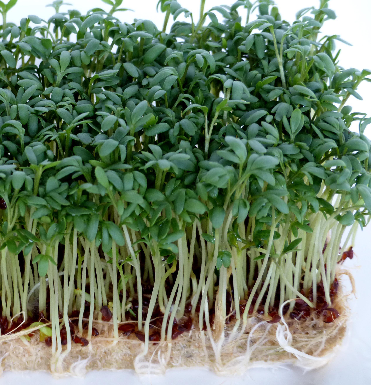 ProFlora Hanfpads Kresse Microgreens Wachstumsbeispiel