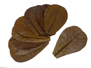 Catappa Blätter - Seemandelbaum - SMALL 12-16cm - 1