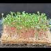 Kokosmatte - Anzuchtvlies - Microgreens - 3